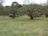 More bonsaied black pines