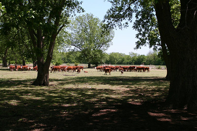 Cattle by pecan grove north of Main on 4th Street