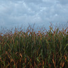 I went home last week to visit my mom.  One early morning I walked through the corn fields near the house.  The stalks looked good at first.  They were over 6 feet tall.  Then I noticed there were only two ears per stalk, instead of the six to eight that I was used to seeing.  Wierd... I heard an article on NPR when I got back that the heat was hurting the corn crop.  Evidently the corn doesn't pollinate in the heat that we've been having..... mystery explained.