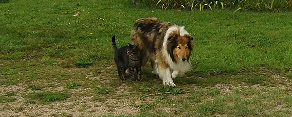 Julie's pets.  The collie, is completely blind and the cat wouldn't let him out of her sight.