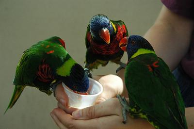Lorikeets drinking nectar