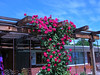 Blaze Climbing Rose - The roses have grown a bit�