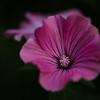 rose mallow