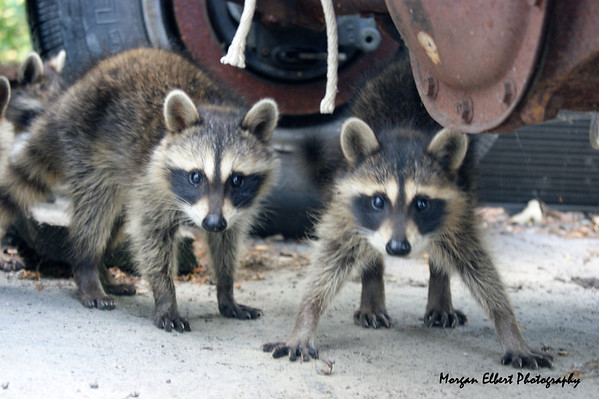 Raccoons  Photographer's Name: Morgan Elbert Photographer's City and State: Alexandria, IN