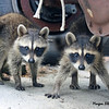 Raccoons<br /> <br /> Photographer's Name: Morgan Elbert<br /> Photographer's City and State: Alexandria, IN