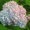 Blooming hydrangeas.<br /> <br /> Photographer's Name: Kathleen Kelly<br /> Photographer's City and State: Alexandria, Ind.