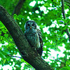 An owl seen on one of the trails at Mounds State Park<br /> <br /> Photographer's Name: Morgan  Elbert<br /> Photographer's City and State: Alexandria, Ind.
