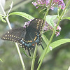 Butterfly on Butterfly Bush<br /> <br /> Photographer's Name: Angie Tays<br /> Photographer's City and State: Frankton, IN