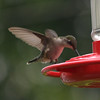 A hummingbird droppd by Barbara and Jerry Ward's house in Anderson for a sweet, refreshing drink.<br /> <br /> Photographer's Name: Terry  Ward<br /> Photographer's City and State: Frankton, Ind.