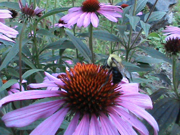 Taken in my backyard flower garden; a bumblebee on a cone flower.<br /> <br /> Photographer's Name: Bill Creel<br /> Photographer's City and State: Pendleton, Ind.