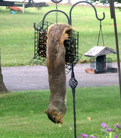 Our wild squirrel eating lunch his way -- upside down!<br /> <br /> Photographer's Name: Shannon Hull<br /> Photographer's City and State: Anderson, Ind.