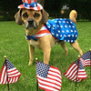 Yogi, The Patriotic Pooch - July 4th, 2013<br /> <br /> Photographer's Name: Debbie Woschitz<br /> Photographer's City and State: Anderson, IN
