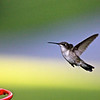 """Caught in Flight"" in our backyard.<br /> <br /> Photographer's Name: Jerry Carignan<br /> Photographer's City and State: Anderson, IN"