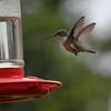 A hummingbird dropped by Barbara and Jerry Ward's house in Anderson for a sweet, refreshing drink.<br /> <br /> Photographer's Name: Terry Ward<br /> Photographer's City and State: Frankton, Ind.