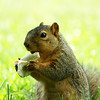 A squirrel snacking on a piece of bread at Mounds State Park.<br /> <br /> Photographer's Name: Morgan Elbert<br /> Photographer's City and State: Alexandria, Ind.