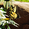 Swallowtail butterfly enjoying the garden cone flowers .<br /> <br /> Photographer's Name: Sharon Markle<br /> Photographer's City and State: Markleville, IN