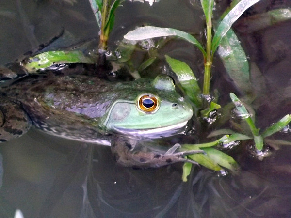 Little Killbuck  Creek frog My farm Richland Twd.<br /> <br /> Photographer's Name: J. R. Rosencrans<br /> Photographer's City and State: Alexandria, IN
