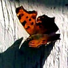 A closeup of a butterfly in Elwood.<br /> <br /> Photographer's Name: Michelle Estelle<br /> Photographer's City and State: Marion, Ind.