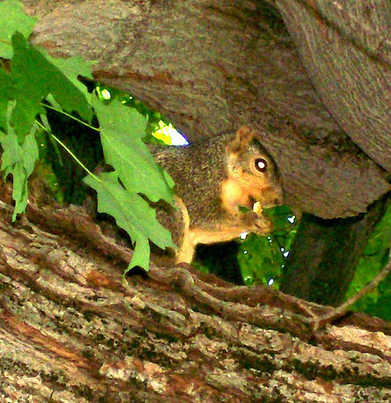 Squirrel in Mom's tree in Elwood.<br /> <br /> Photographer's Name: Michelle Estelle<br /> Photographer's City and State: Marion, Ind.