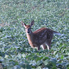 Fawn in Soybean field in Northern Indiana<br /> <br /> Photographer's Name: Steve Cockrill<br /> Photographer's City and State: Anderson, IN