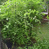 My Tomatoes..on 8 foot stakes!<br /> <br /> Photographer's Name: David  Carroll<br /> Photographer's City and State: anderson, IN