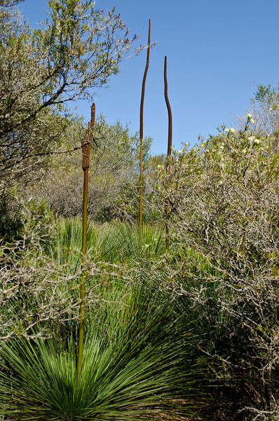 Grass trees. North head
