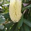 banksia integrifolia