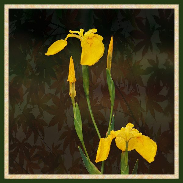 iris pseudacorus, photoshopped background
