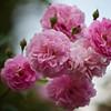 heritage rose garden, elizabeth park