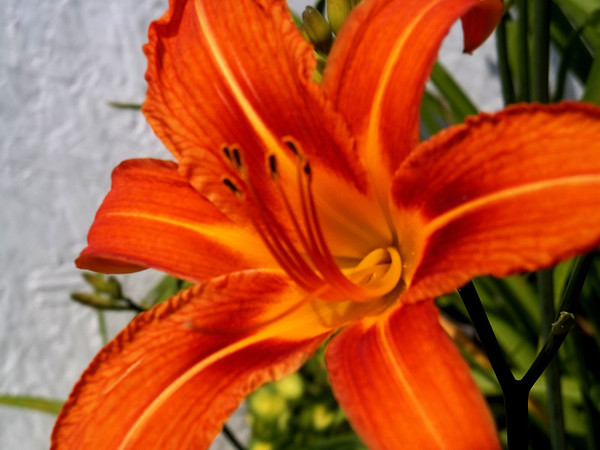 Dan Lacy's tiger lily<br /> <br /> Photographer's Name: Brenda Lacy<br /> Photographer's City and State: Anderson, Ind.