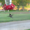 A ruby-throated hummingbird at a feeder.<br /> <br /> Photographer's Name: Angie Tays<br /> Photographer's City and State: Frankton, Ind.
