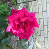 A rose from my garden.<br /> <br /> Photographer's Name: Angie Tays<br /> Photographer's City and State: Frankton, Ind.