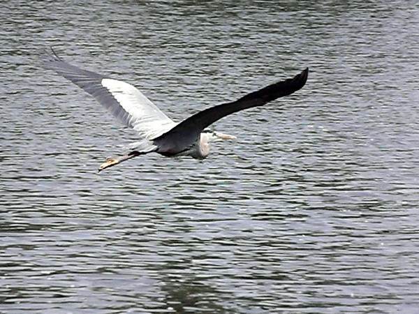 """""""Wing Span:"""" Shot at Little Killbuck Creek on June 7.<br /> <br /> Photographer's Name: J.R. Rosencrans<br /> Photographer's City and State: Alexandria, Ind."""