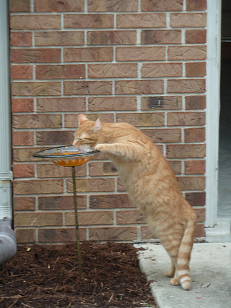Thirsty Kitty<br /> <br /> Photographer's Name: Chrislyn Reed<br /> Photographer's City and State: Anderson, IN
