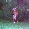 Every morning  at dawn this young deer stops for some grass at my farm.<br /> <br /> Photographer's Name: J.R. Rosencrans<br /> Photographer's City and State: Alexandria, Ind.