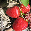 It's berry pickin' time<br /> <br /> Photographer's Name: Rex Rice<br /> Photographer's City and State: Middletown, IN