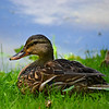A female mallard duck at the Killbuck wetlands.<br /> <br /> Photographer's Name: Greg Tompkins<br /> Photographer's City and State: Anderson, Ind.