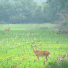 Deer in the city.<br /> <br /> Photographer's Name: Brian Fox<br /> Photographer's City and State: Anderson, IN