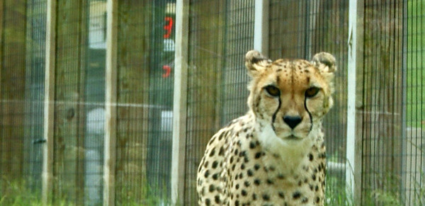 A cheetah  at the Indianapolis zoo<br /> <br /> Photographer's Name: Morgan Elbert<br /> Photographer's City and State: Alexandria, IN