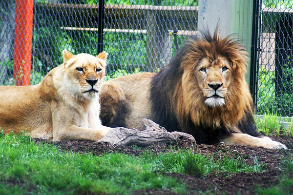 A couple of lions at the Indianapolis zoo<br /> <br /> Photographer's Name: Morgan Elbert<br /> Photographer's City and State: Alexandria, IN
