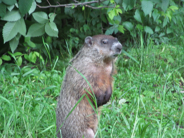 Groundhog at Mounds State <br /> <br /> Photographer's Name: Angie Tays<br /> Photographer's City and State: Frankton, IN