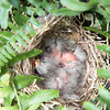 Four baby House Finches<br /> <br /> Photographer's Name: Pete Domery<br /> Photographer's City and State: Markleville, IN