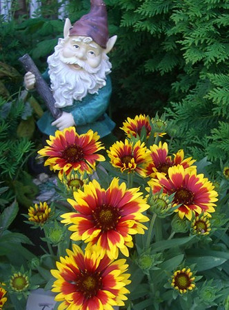 A watchful gnome guards Art Tate's blanket flowers in his flower bed at CrownPointe.<br /> <br /> Photographer's Name: Art Tate<br /> Photographer's City and State: Anderson, Ind.