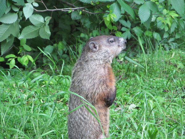 A groundhog at Mounds State Park Nature Center.<br /> <br /> Photographer's Name: Angie Tays<br /> Photographer's City and State: Frankton, Ind.
