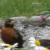 A robin enjoying a bath.<br /> <br /> Photographer's Name: Skip Wolff<br /> Photographer's City and State: Edgewood, Ind.