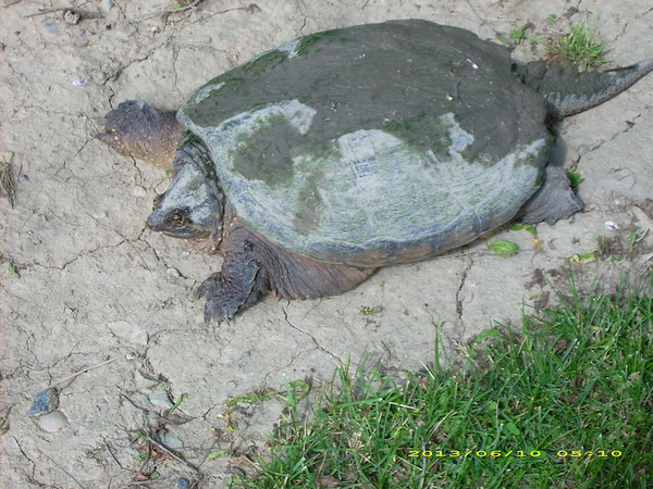Large Snapping turtle in my back yard.<br /> <br /> Photographer's Name: Bettie Beane<br /> Photographer's City and State: Anderson, IN