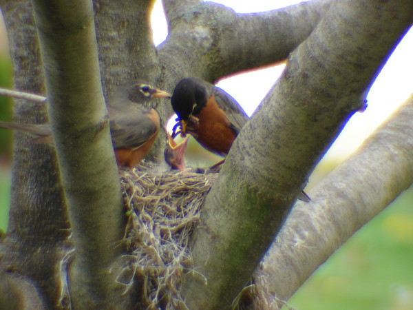 Mama and Papa Robin feeding chicks in Pendleton, Indiana<br /> <br /> Photographer's Name: Kathleen Cecchini<br /> Photographer's City and State: Pendleton, IN