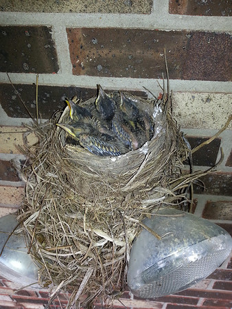 Four baby robins waiting for mom to return with food.<br /> <br /> Photographer's Name: Larry Muckenhirn<br /> Photographer's City and State: Anderson, Ind.