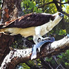 The beautiful Osprey in this photo is enjoying his catch of the day.  This photo was taken by Joyce Schwab while in Sarasota, Fla., during the winter of 2012.<br /> <br /> Photographer's Name: Debbie Shanks<br /> Photographer's City and State: Anderson, Ind.