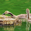 Young goslings discovering some nice green sprouts on the pond's floating log.<br /> <br /> Photographer's Name: Sharon Markle<br /> Photographer's City and State: Markleville, IN